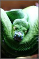 Green Snake by Alphamind