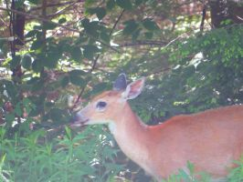 Whitetail Deer Stock 2348 by sUpErWoLf--StOcK