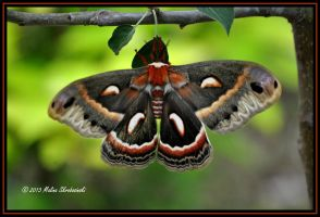 Cecropia Moth by aperfectmjk