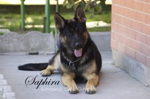 Saphira - German Shepherd Dog by trinitym