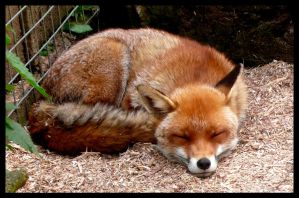 Fox Sleeping by larewenevenstar