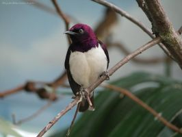 Violet-backed starling by Minyaden