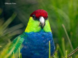 Red-Capped Parrot by FireflyPhotosAust