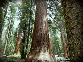 Sequoia1 by livdrummer