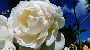 The White Rose by James-Aylott