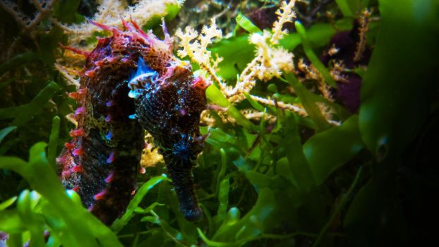 Seahorse by Willi580