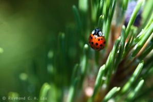 Lady bug by Raylau