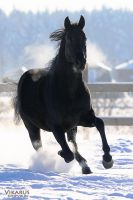 Black horse from Olympia horsefarm by Vikarus