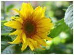 lil sunshine for you by miss-gardener