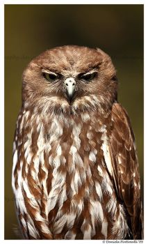 Barking Owl: Not Amused by TVD-Photography