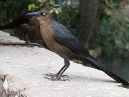 Female Grackle by austringer