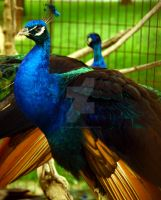 Peacock 03 by VictoriaLPF