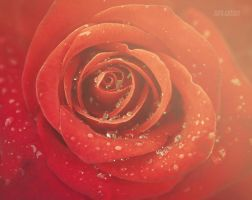 Dew-dropped Rose II by valiunic