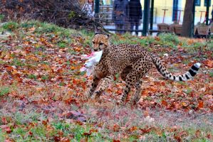 Cheetah feeding by neo1984com