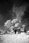 Trees painted White - V by sorny