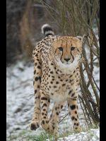 Cheetah in a snow by Pawkeye