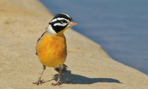 Golden Bunting - Wild Birds - Colorful Exotic by LivingWild