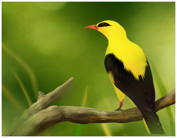 Eurasian golden oriole by Aniritak