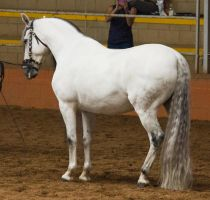 STOCK - 2014 Andalusian Nationals-154 by fillyrox