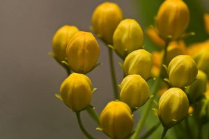 Flower Buds in Late Afternoon by pubculture