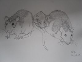 My ratties by McFlynder