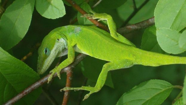 Green Anole Wide Screen by 1389AD