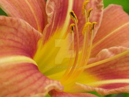 Tiger Lily Close-Up by Tikal4ever