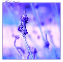 Time of the lavender by ShlomitMessica