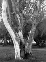 Old tree by Sweetlittlejenny