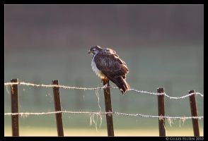 Buteo buteo by Swordtemper