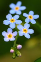 forget-me-not by Bukovinagirl