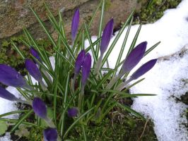 crocuses in the snow by StarGateFanFre
