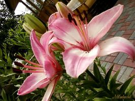 Flowers for you. Pink lily 2. by Mladavid