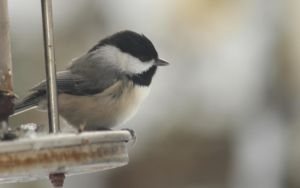 Cute Chickadee by Laur720