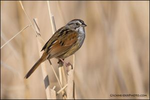 Swamp Sparrow by gregster09