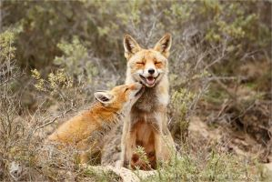 Happy Mother and Son - Vixen and fox kit by thrumyeye