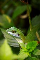 Green Crested Lizard 02 by josgoh