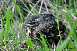 Redwing's nestling by MadInKaCC