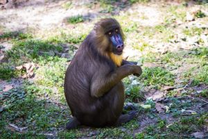 Baboon 3 by 904PhotoPhactory