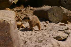 Meerkats V by expression-stock