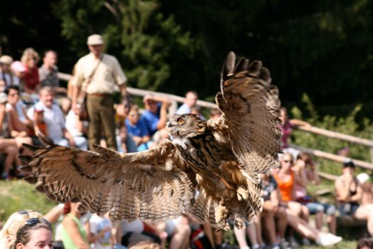 Eagle owl in action by pasix