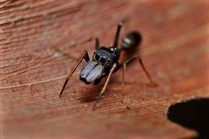 Ant Mimicking Jumping Spider by Anrico