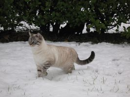 Cat on the Snow by Nipol