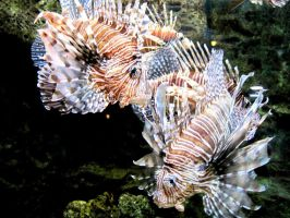 Lion Fish 2 by o0Psy0o
