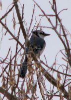 Winter Blue Jay by cindy1701d