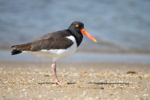 Oystercatcher by mydigitalmind