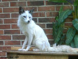 Misty the Marble Fox 1 by malane3