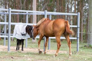 Dn WB chestnut view from behind by Chunga-Stock