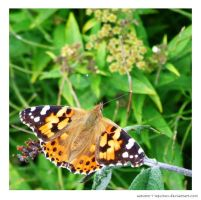 Painted Lady by autumn-I-equinox