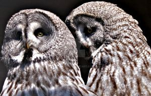 Owls in Love. by bared